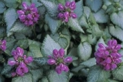Lamium maculatum 'Purple Dragon' PP15,890