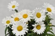 Leucanthemum Betsy®