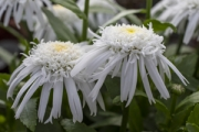 Leucanthemum Double Darling Daisy®