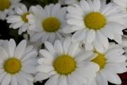 Leucanthemum White Mountain®