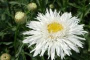 Leucanthemum superbum 'Aglaia'