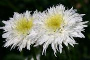 Leucanthemum superbum 'Fiona Coghill'