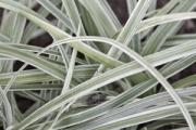 Liriope spicata 'Silver Dragon'