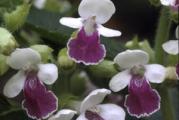 Melittis melissophyllum 'Royal Velvet Distinction' PP13,233