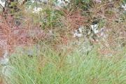 Miscanthus sinensis 'Graziella'
