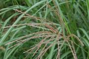 Miscanthus sinensis 'Silberfeder'