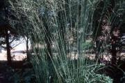 Molina caerulea arundinacea 'Skyracer'