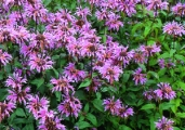 Monarda didyma 'Beauty of Cobham'