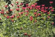 Monarda didyma 'Gardenview Scarlet'