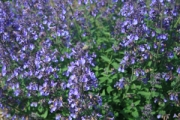 Nepeta 'Junior Walker' PP23,074