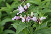 Nepeta subsessilis 'Candy Cat'