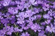 Phlox 'Violet Pinwheels' PP25,884
