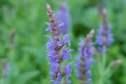 Salvia nemerosa 'Blue Hill' ('Blauhagel')