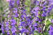 Salvia nemerosa 'Marcus' 'Haeumanarc' PP13,322