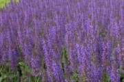 Salvia nemerosa 'May Night' ('Mainacht')