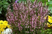 Salvia pratensis 'Eveline' PP14,905
