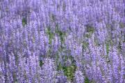 Salvia pratensis 'Rhapsody in Blue' PP15,148