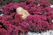 Sedum Sunsparkler  'Dazzleberry' PP22,457