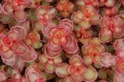 Sedum spurium 'Red Carpet'