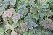 Tiarella cordifolia 'Susquehanna' PP21,961